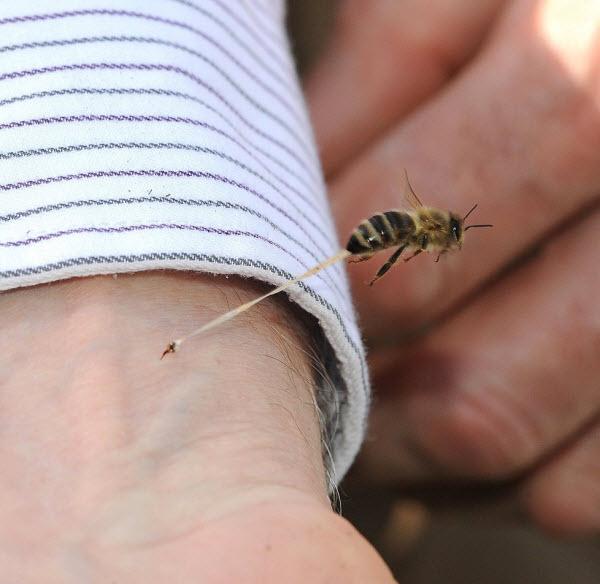 نیش ,زنبور عسل