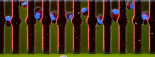 سلول سرطانی,تقسیم سلولی