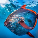 نخستین ماهی خونگرم دنیا کشف شد: ماهماهی!