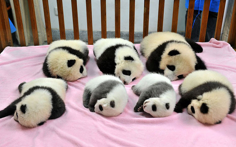panda-daycare-nursery-chengdu-research-base-breeding-1