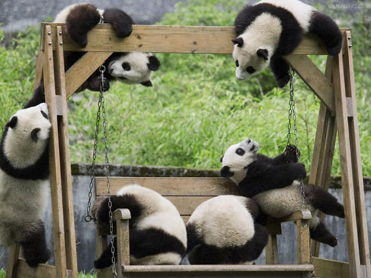 panda-daycare-nursery-chengdu-research-base-breeding-11