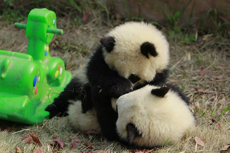 panda-daycare-nursery-chengdu-research-base-breeding-13