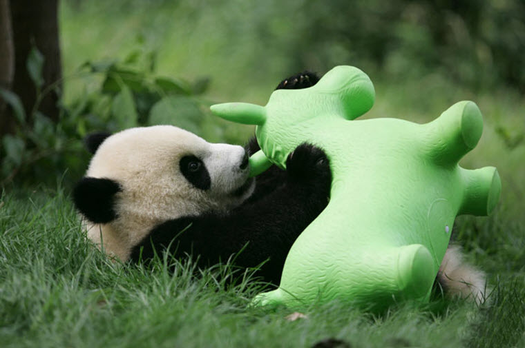 panda-daycare-nursery-chengdu-research-base-breeding-23