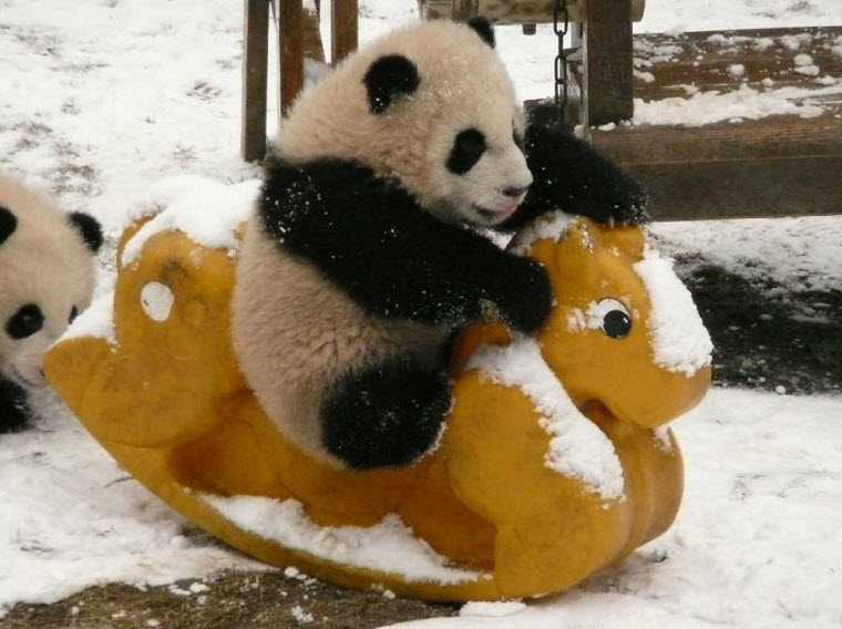 panda-daycare-nursery-chengdu-research-base-breeding-8