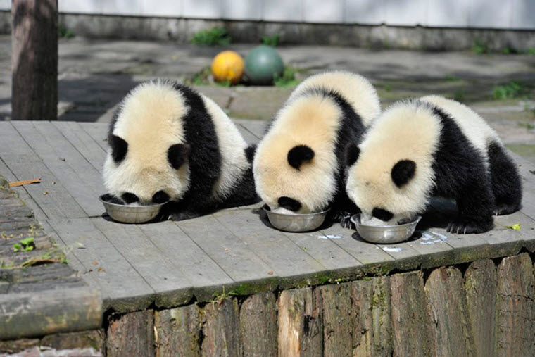 panda-daycare-nursery-chengdu-research-base-breeding-9