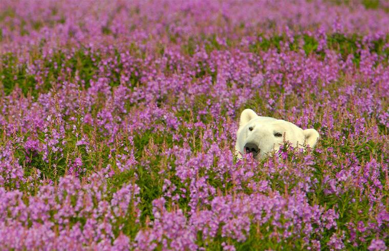 polar-bear-playing-flower-field-dennis-fast-17