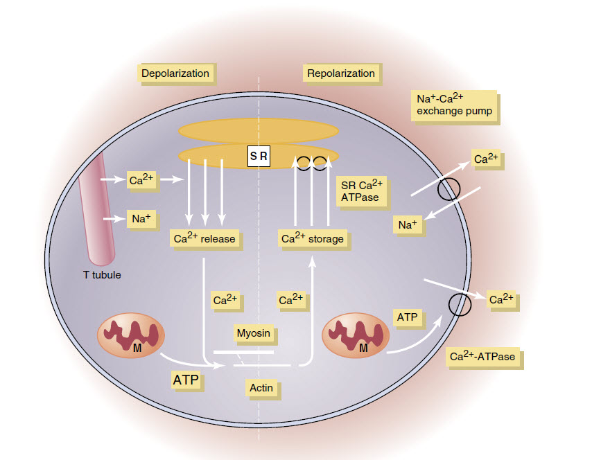 Calcium dependence of myocardial contraction.