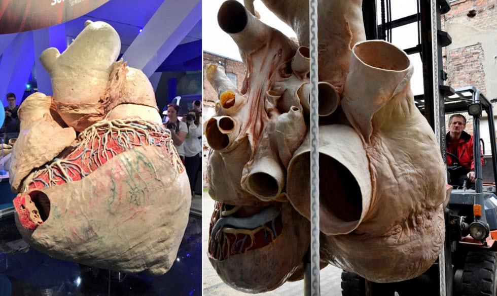 بزرگترین قلب دنیا 270 کیلوگرم وزن دارد!