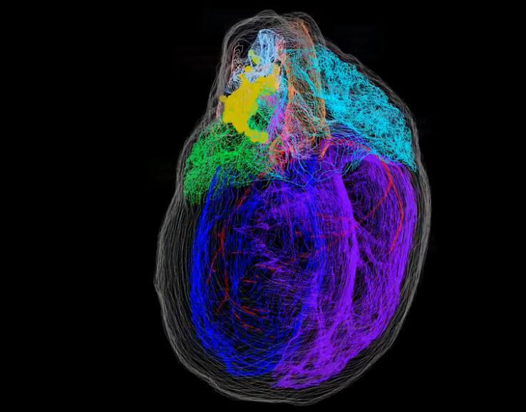نخستین مدل سهبعدی بسیار دقیق سیستم هدایت عصبی قلب