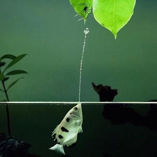 ماهی تیرانداز یکی از جالبترین و نادرترین اشکال شکار طعمه در طبیعت را دارد